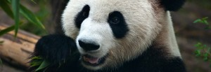 Header-China-Chengdu-Panda.jpg